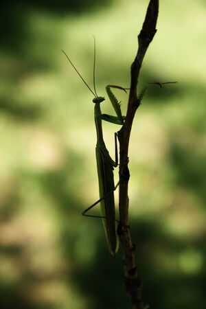 Praying Mantis on the grass in spring