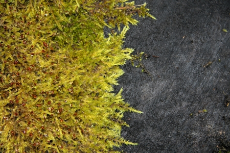 Moss on black log background photo