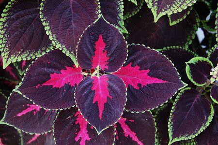 Decorative Nettle colors close up