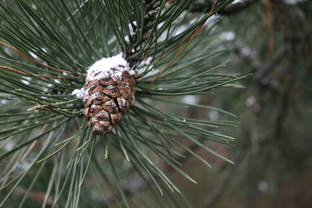 Pine cone with snow  photo