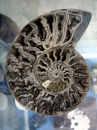 mollusk: Nautilus mollusk spiral cut in half