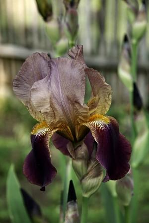Iris,beautiful flower iris in the garden close up Stock Photo