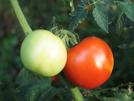 Tomatoes reach the rip in the garden Stock Photo - 17057546