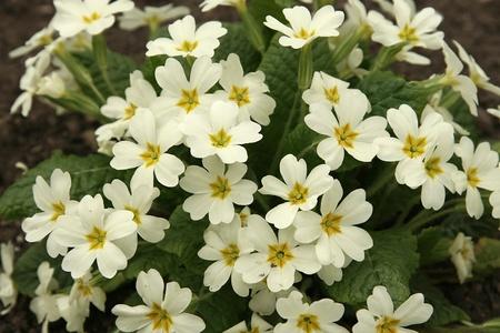 Primrose in the spring close up