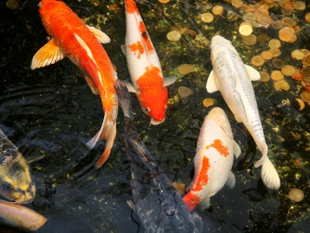 Koi Carp fish in water garden  Cyprinidae  photo
