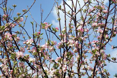 Apple enjoying in new spring with blossom branch