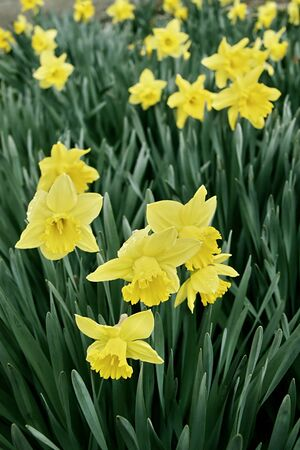 Narcissus poeticus  Amaryllidaceae ,field