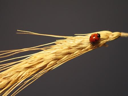 Ladybird on a stalk of wheat Stock Photo