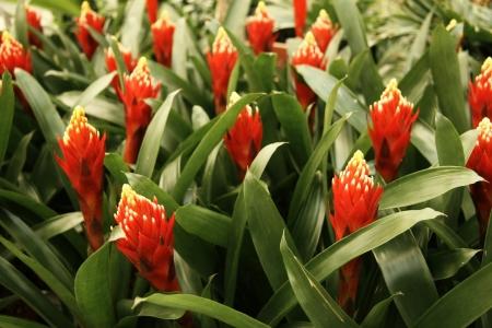Guzmania flowers field
