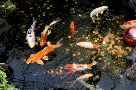 cypriniformes: Koi Carp fish in water garden that bring prosperity, luck, happiness and success Stock Photo