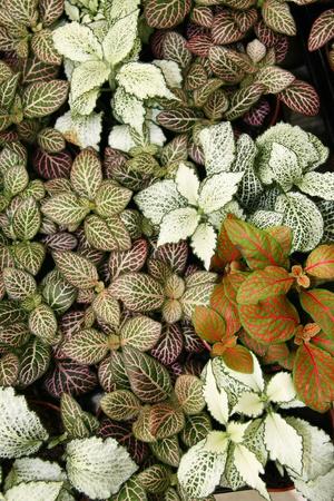 Polka Dot Plants  Hypoestes phyllostachya ,background