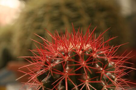 flowering cactus: Red spines on a cactus, View from close-up ,background Stock Photo