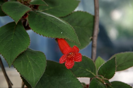 Beautiful red kohleria flower on the window