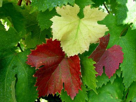 sauternes: Grape color leaves in Serbian south vineyard