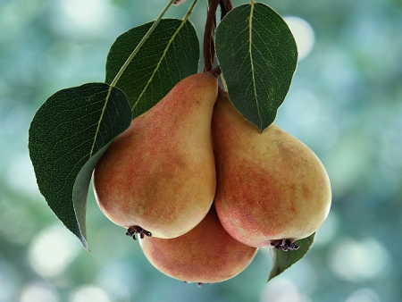 bough: Pears on the bough
