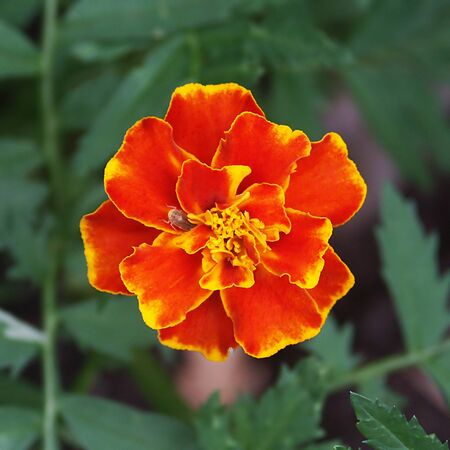 tagetes: Fire flower, tagetes erecta