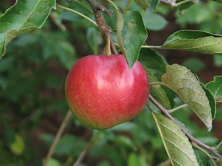 Apple on tree in orchard Stock Photo