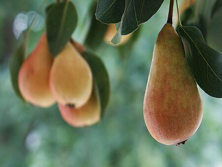 bough: Pears on the bough,seasonal view