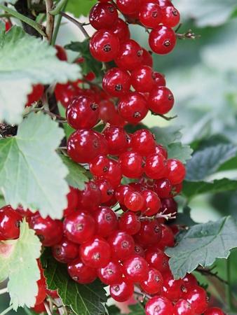 bush to grow up: Cranberry bush close-up Stock Photo