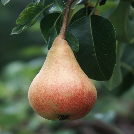 Pear hang up