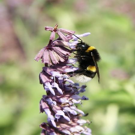 Bumblebee collecting honey Stock Photo