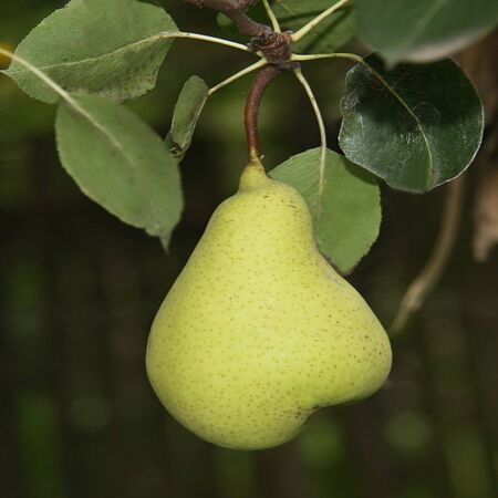 Green Pear hanging on the tree Stock Photo