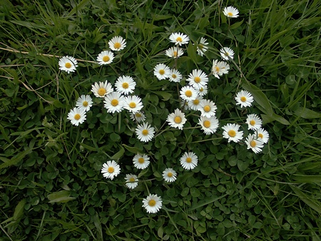 Camomile  flowers on the grass