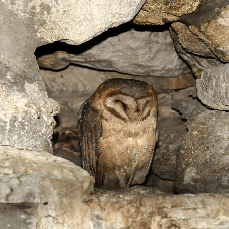 Owl in cave