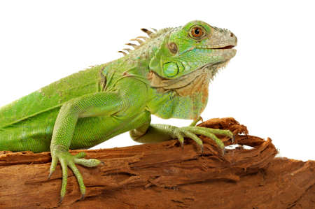 iguana there is a beautiful ornament of a domestic terrarium Фото со стока