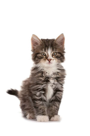Grey striped kitten plays on a white background