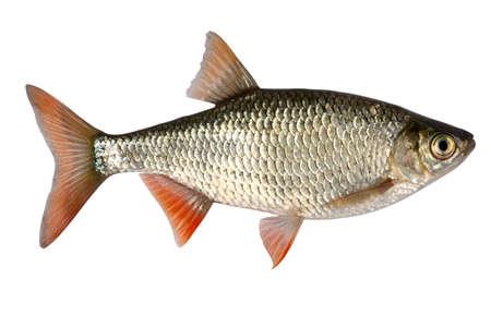 Voorkomende rudd meest verspreide zoet water vissen op grondgebied van Azië en Europa.