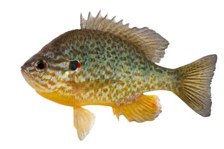 Sunfish l'habitant des réservoirs de l'Amérique centrale et du Nord. Maintenant, ce poisson est capturé et dans les réservoirs de l'Ukraine.