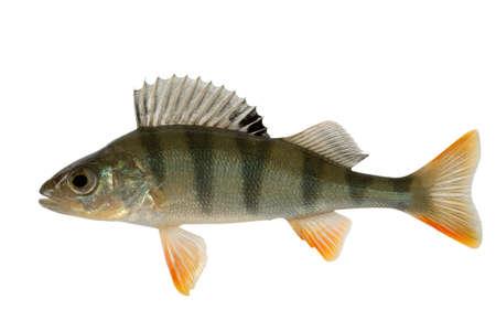 Perche un poisson prédateur et glouton. Grand danger pour les poissons de la paix. Banque d'images
