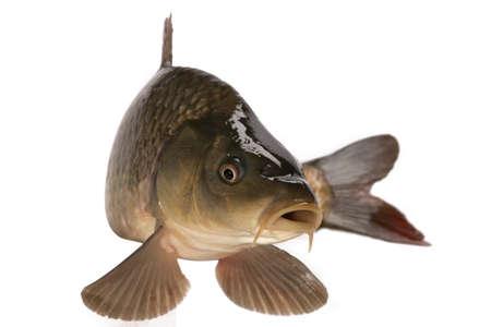 Carp has tasty dietary meat. Fishing  carp great pleasure. Фото со стока
