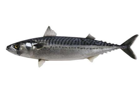 Trade sample large mackerel on a white background.