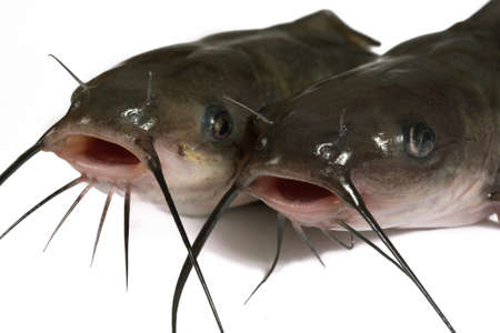 Channel catfish isolated on a white background. Traditionally American kind of a fish. Stock Photo - 8534380