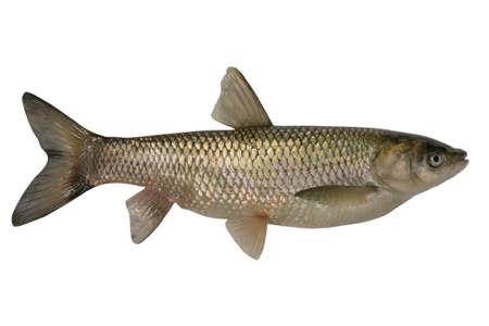 Big Ctenopharyngodon idella isolated on a white background