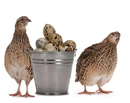 Japanische Wachtel auf einem weißen Hintergrund Ein Vogel, der die goldene Eier legt