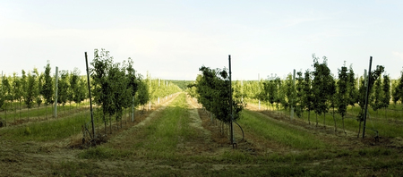 Gardening - a plantation of young apple-trees on open spaces of fields