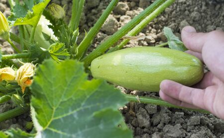 vegetable marrow: Harvesting ripe vegetable marrow from the garden Stock Photo