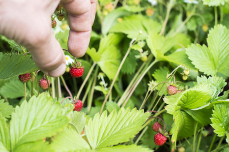 picking fingers: The process of harvesting wild strawberry on a background of green leaves