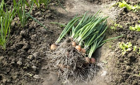 green onions: Plucked green onions in soil in a greenhouse