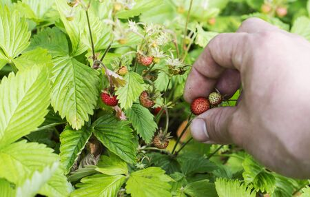 maturation: The process of harvesting wild strawberry on a background of green leaves