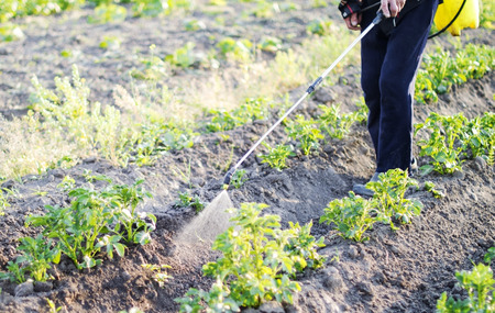 Spraying pesticide of potatoes leaves in the garden Фото со стока