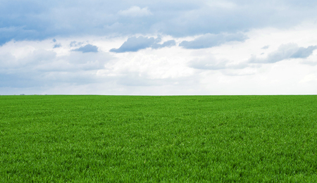 green wheat: Landscape - Green wheat field against the sky with clouds