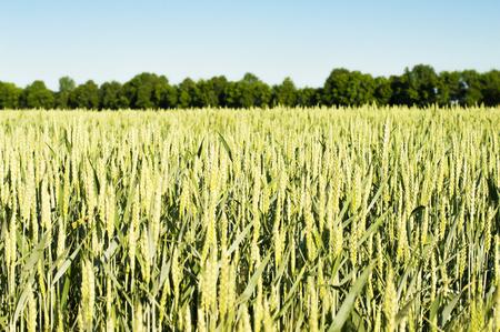 haciendo pan: Campo de cereales de trigo - para la fabricaci�n de productos de pan