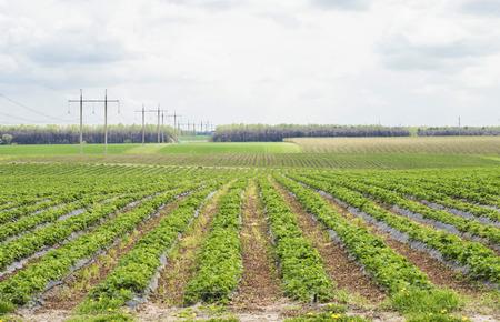 farm field: Farm field where strawberries grown in the open air Stock Photo