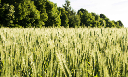 making bread: Campo de cereales de trigo - para la fabricaci�n de productos de pan