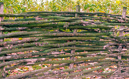 The texture is a wooden fence with branches of hornbeam
