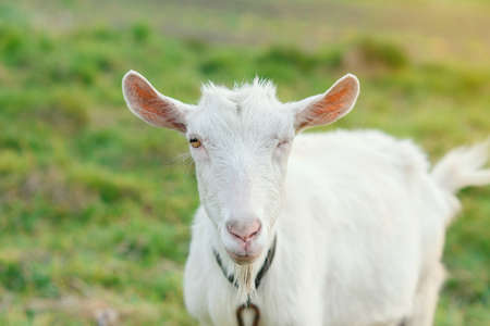 Curious funny joyful goat winks looking at the camera while grazing on a green grassy lawn. A white goat is looking at the camera with great interest. Free copy space for creative.
